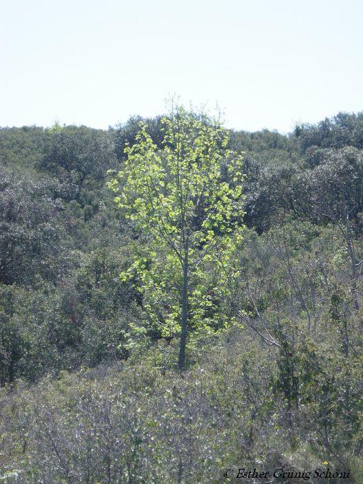Baum in Ambrussum