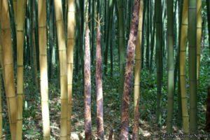 Bambuswald in Anduze